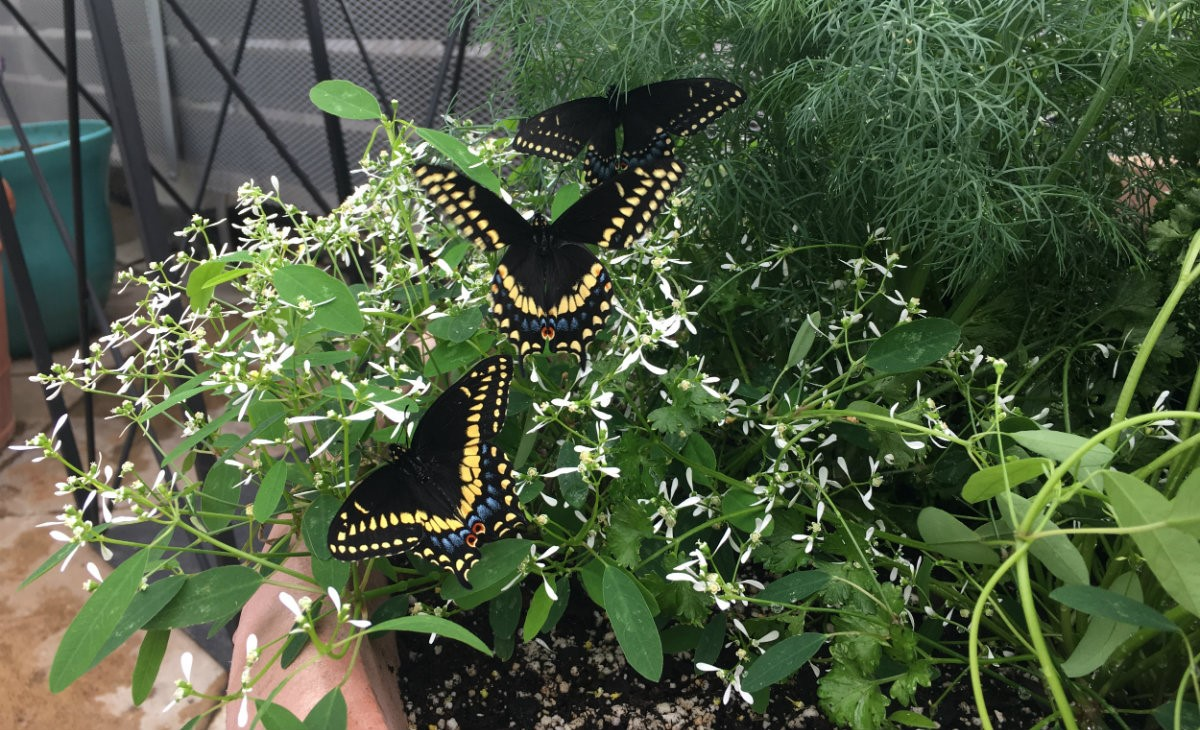Eastern Black Swallowtails spreading their wings as new butterflies.