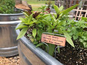 Thai Basil in an herb planter in the Kroger Community Kitchen Garden.