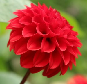 Bright red Dahlia in Lewis Ginter.