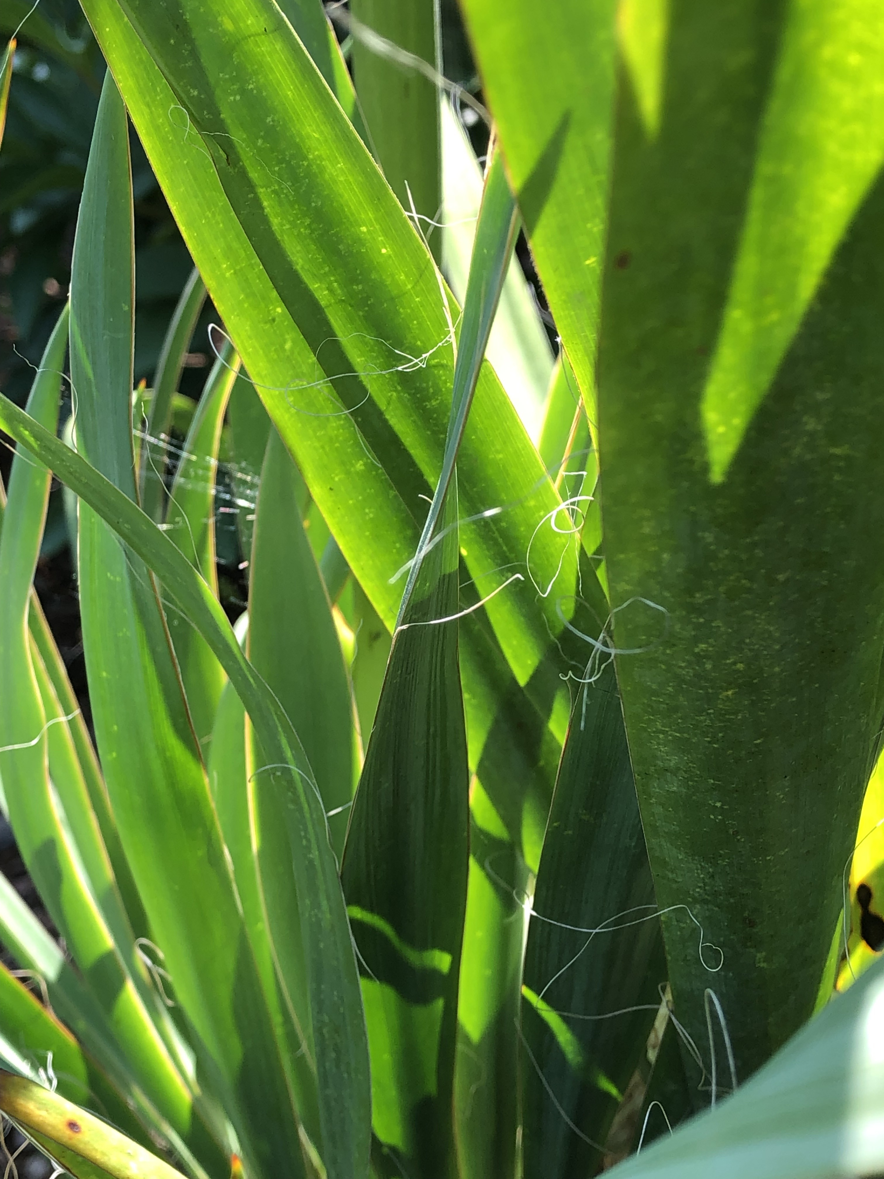 yucca has spear-like leaves