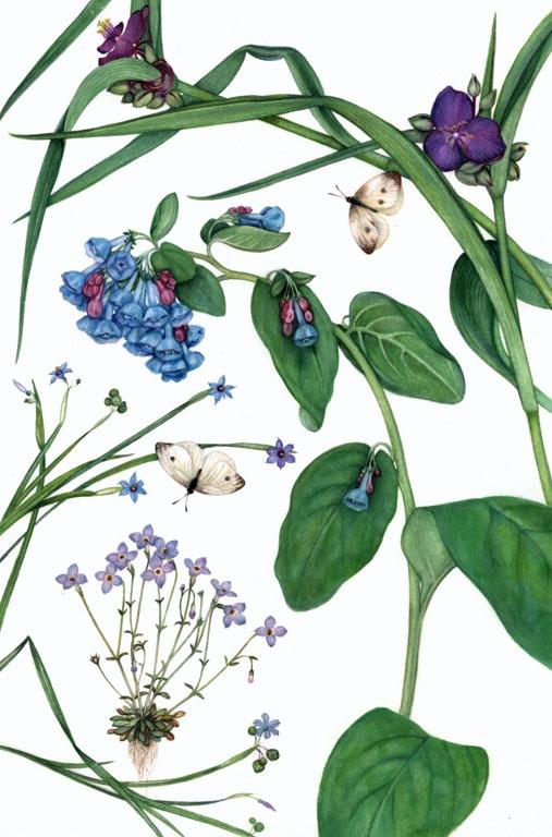 Virginia Bluebell illustration by artist Margaret Farr