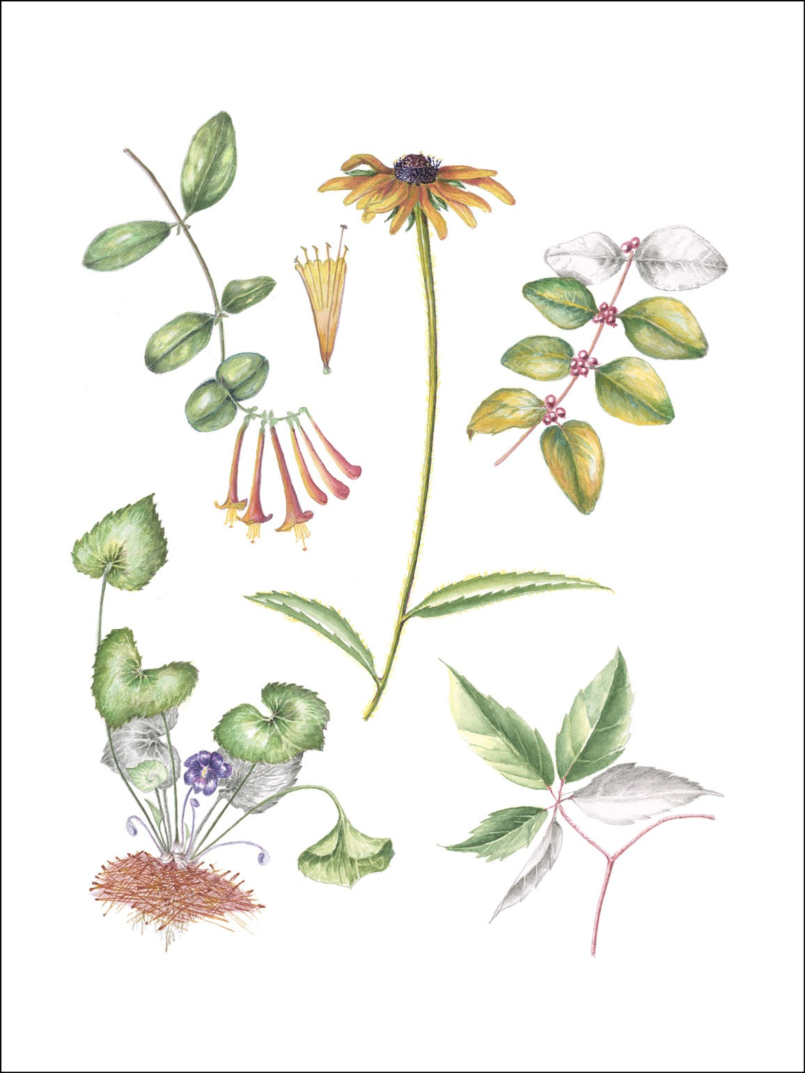 Native plant illustrations drawn by Betsy Lyon.