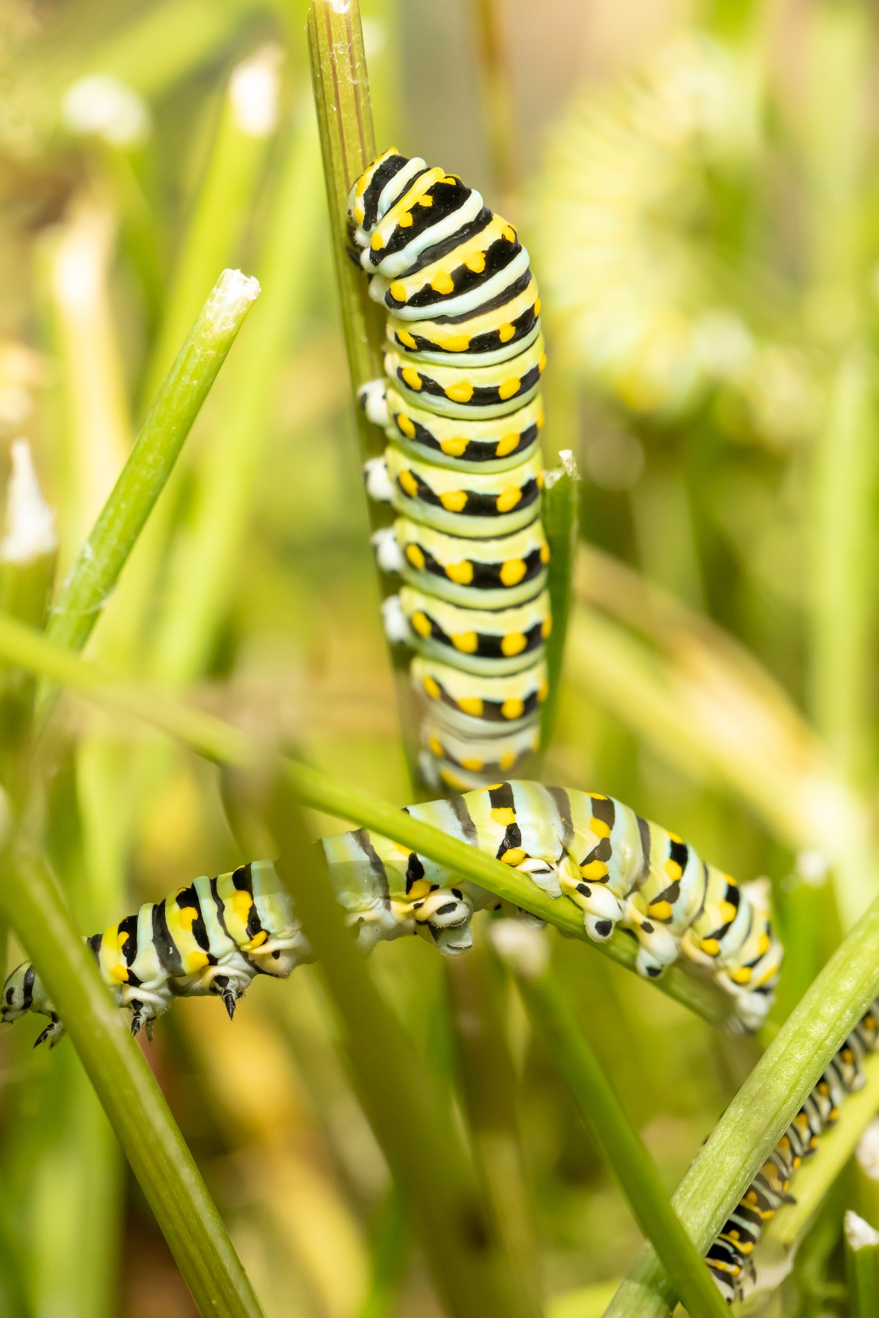 three black swallowtail caterpillars