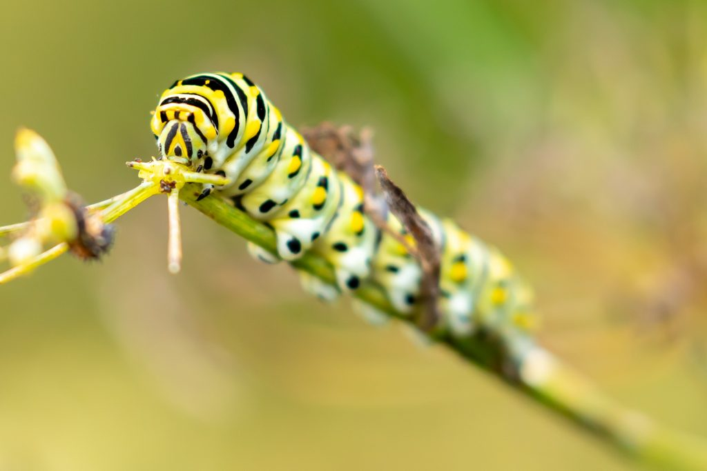 close up of black swallowtail caterpillar on a stem