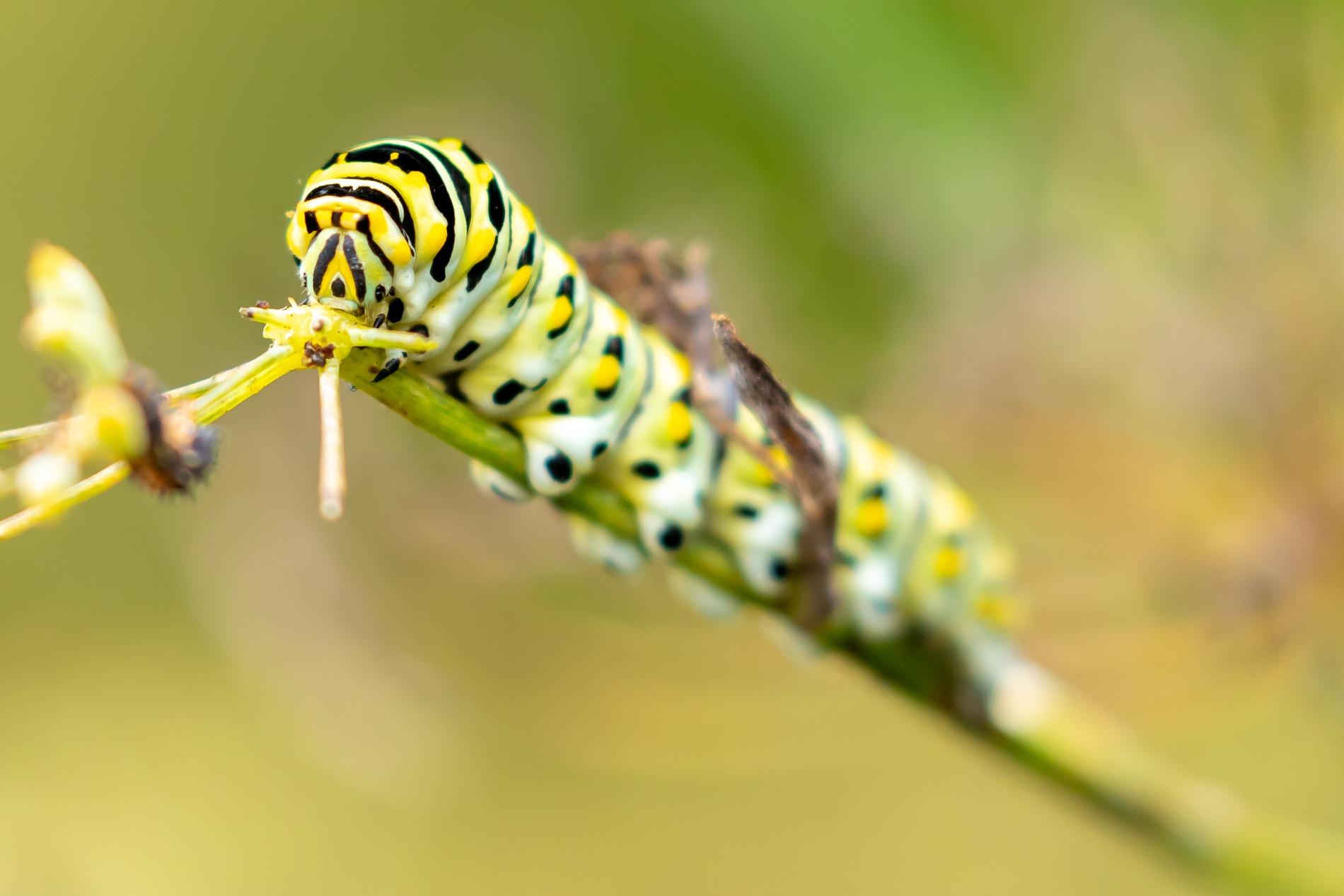 Investigating Black Swallowtail Caterpillars Behavior Lewis Ginter Botanical Garden