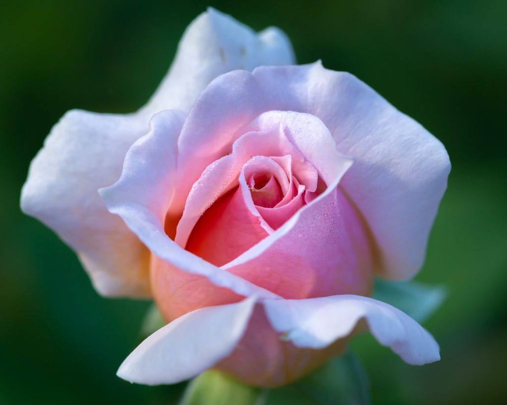 Pink Rose, Image by Tom Hennessy