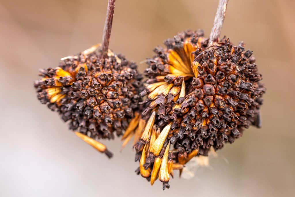 Dried flower heads with seeds falling out -- all illustration of regenerative seed of change. Image by Tom Hennessy