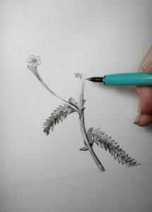 Pen and Ink for Botanical Illustration