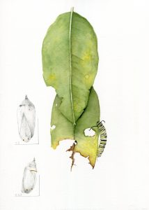 Christine Drake drawing of Asclepias syriaca, common milkweed and Danaus plexippus, monarch caterpillar, 9 x 12 in, watercolor and graphite on paper, ©Christine Drake