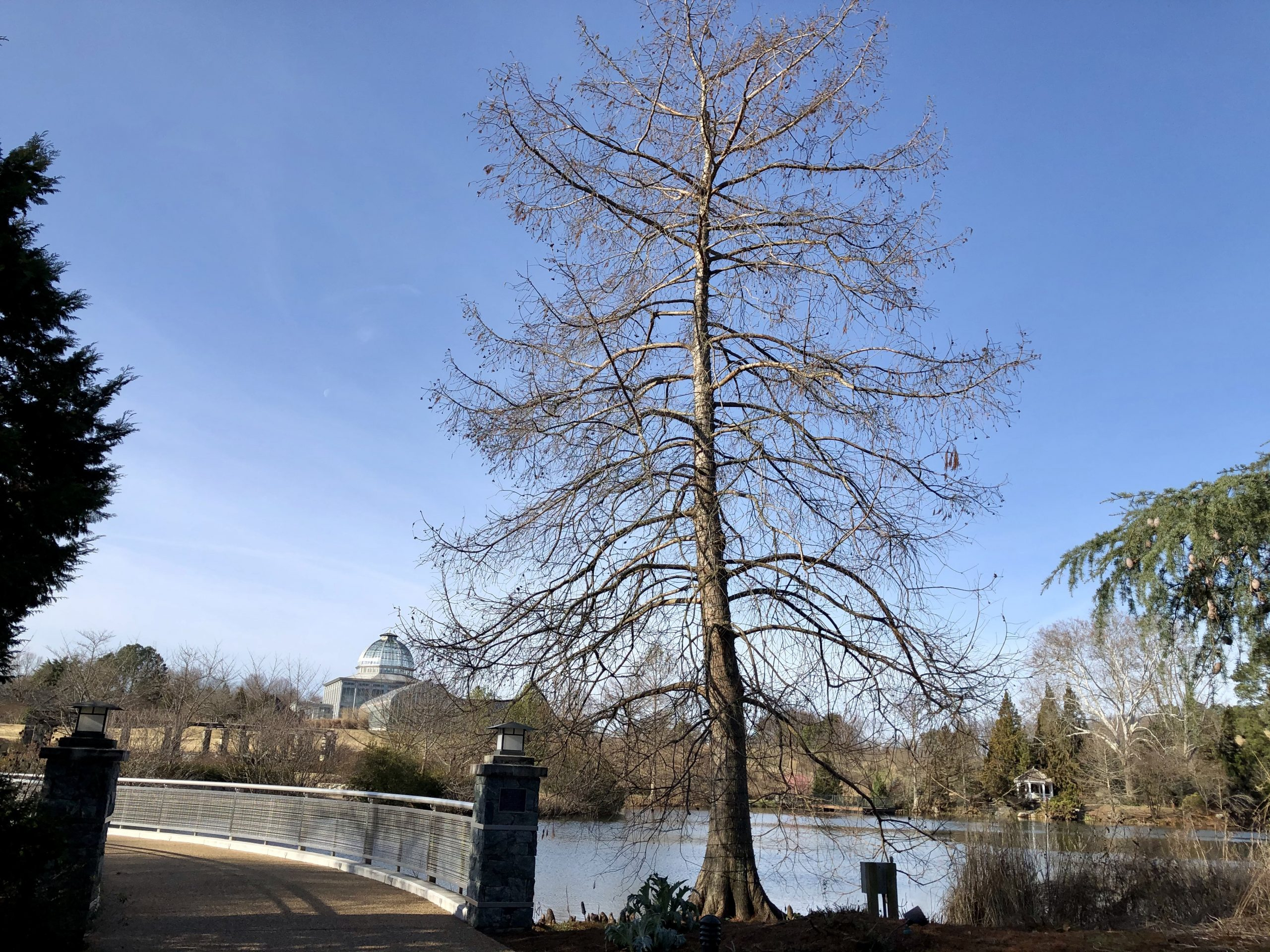 Baldcypress or Taxodium distichum at Lewis Ginter Botanical Garden
