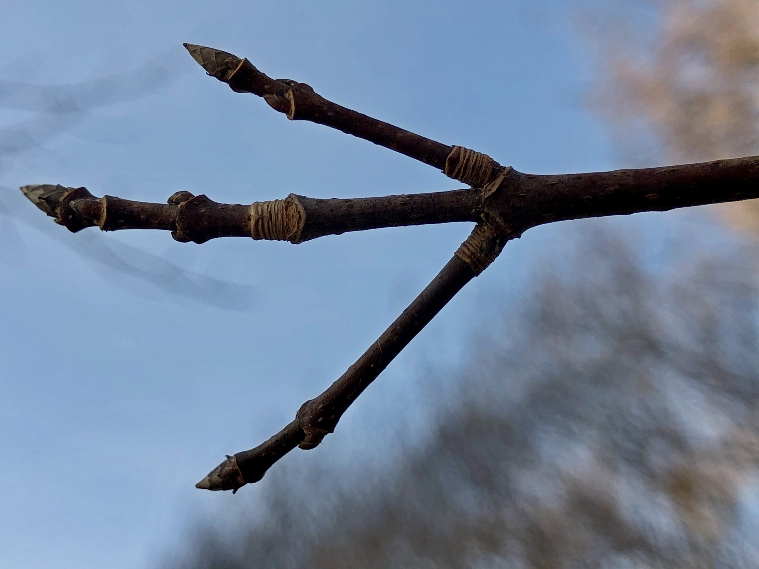 Close up of Acer saccharum or Sugar Maple twig and bud for winter tree ID