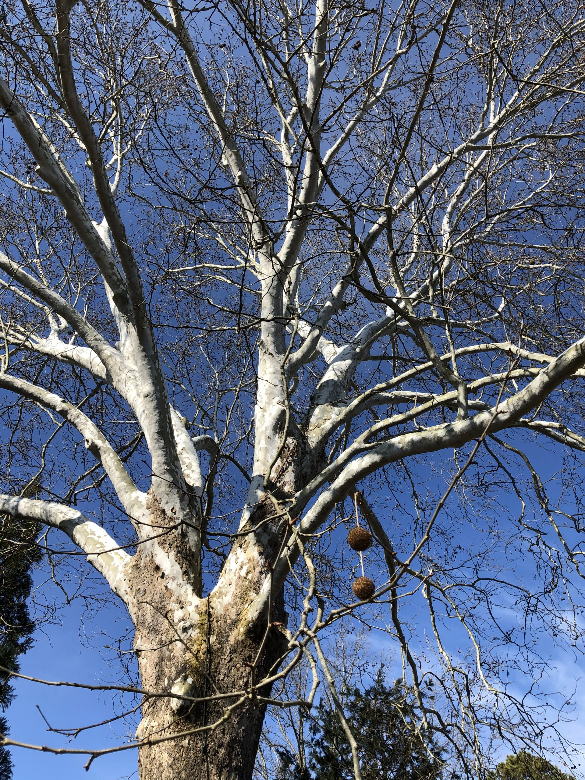 Sycamore or Platanus occidentalis at Lewis Ginter Botanical Garden with fruit winter tree ID