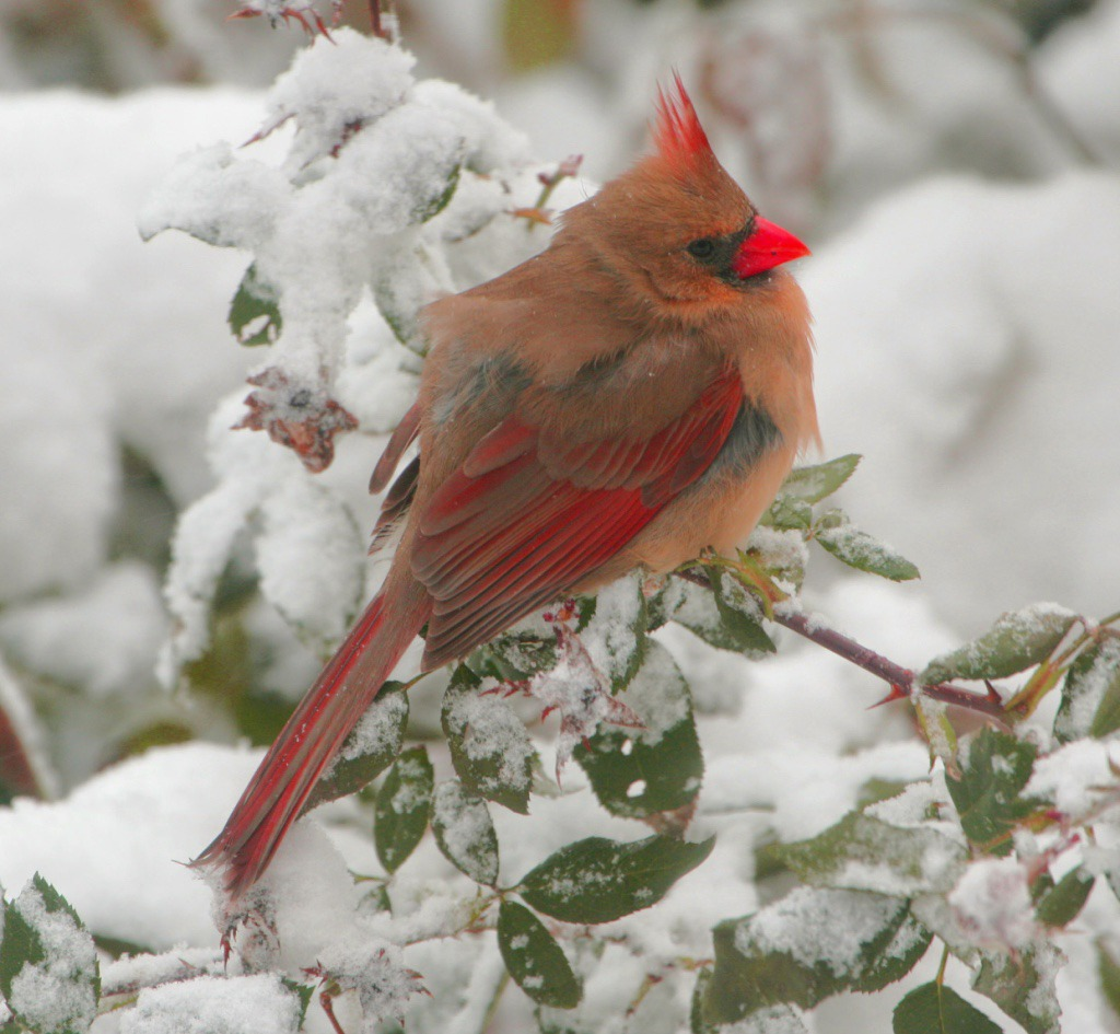 Northern Cardinal in snow. One of the many birds you may see on a bird count