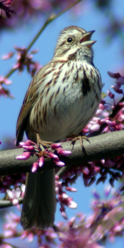 a song sparrow singing on a redbud tree