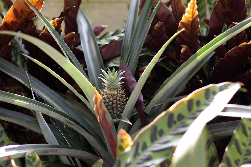 Pineapple growing in the Conservatory. botanical name is Ananas comosus. Image by Claudine Reyes