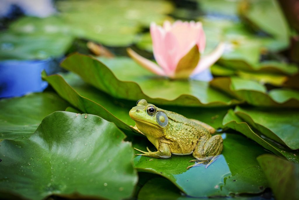 A frog and lily pad with pink bloom in water
