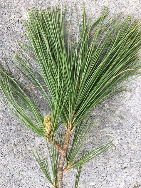 pine needle leaf