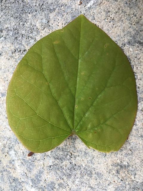 smooth leaf