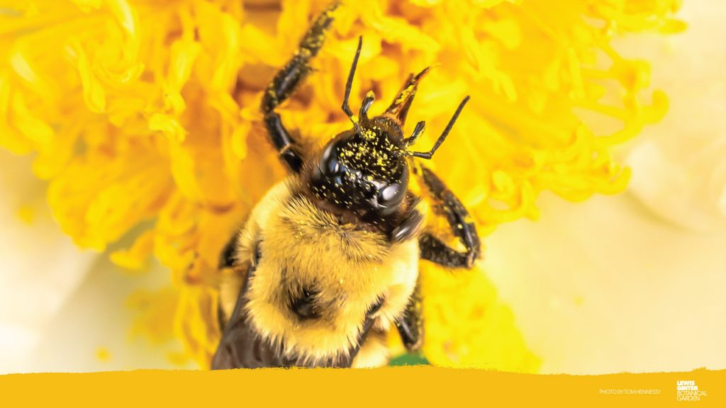 Bee Zoom background. Zoom background, image by Tom Hennessy