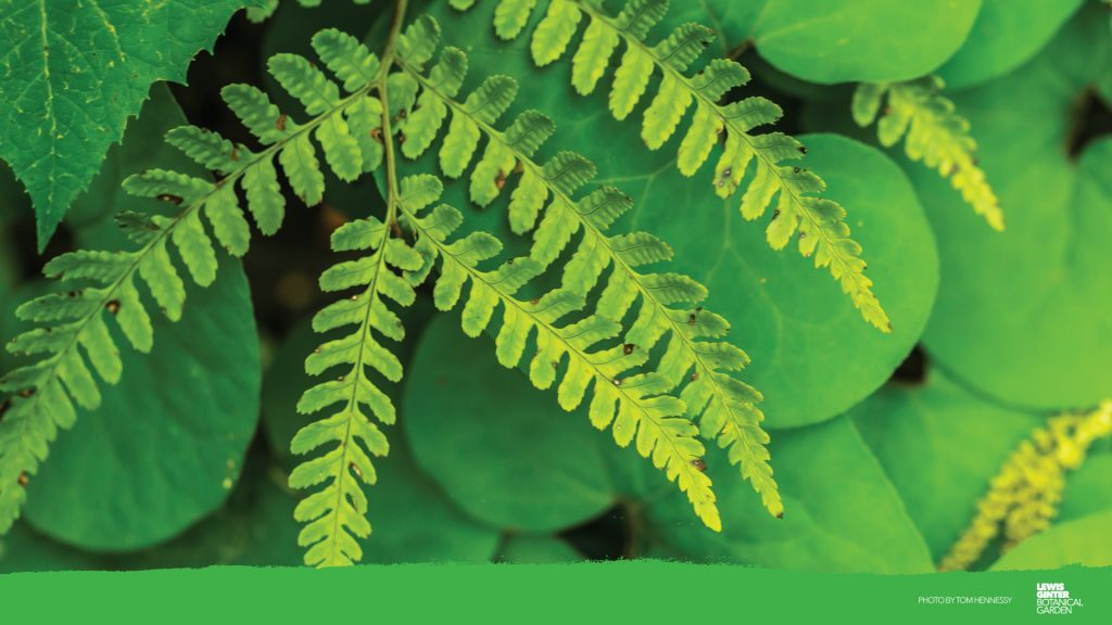 fern Zoom background, image by Tom Hennessy