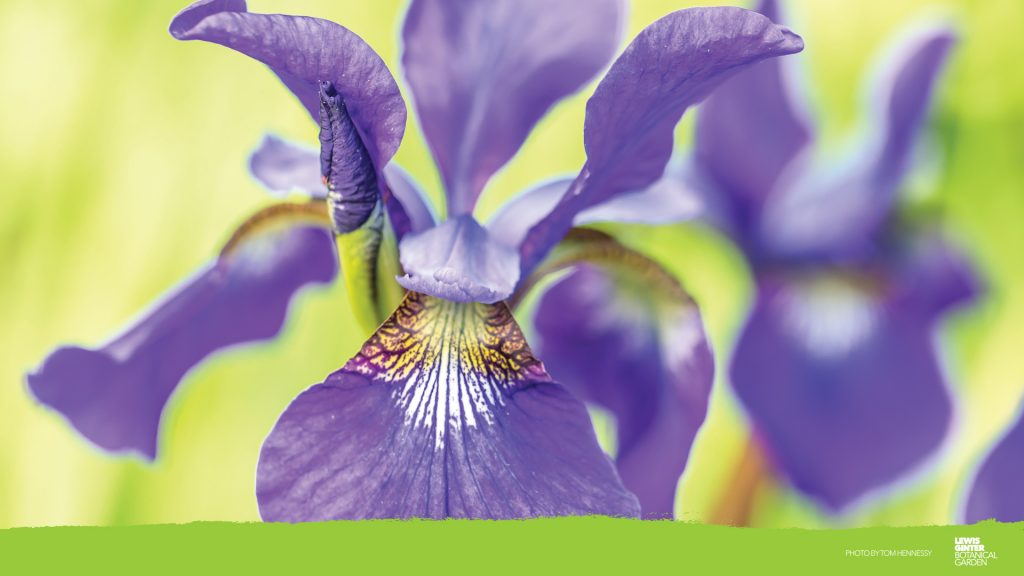 iris zoom background, image by Tom HennesssyS