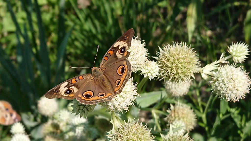 buckeye butterfly on Eryngium