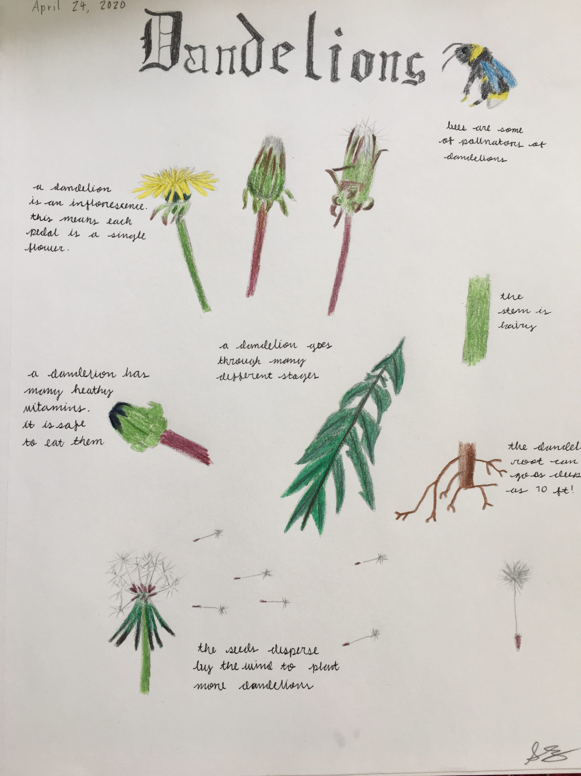 A child's nature journal on a dandelion.