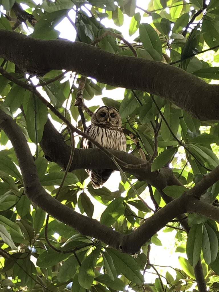 barred owl looking down from tree