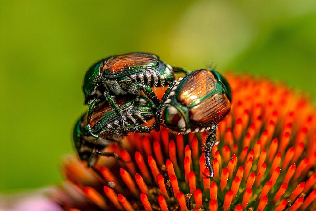 Japanese beetles on Echinacea. Image by Steven Bergman