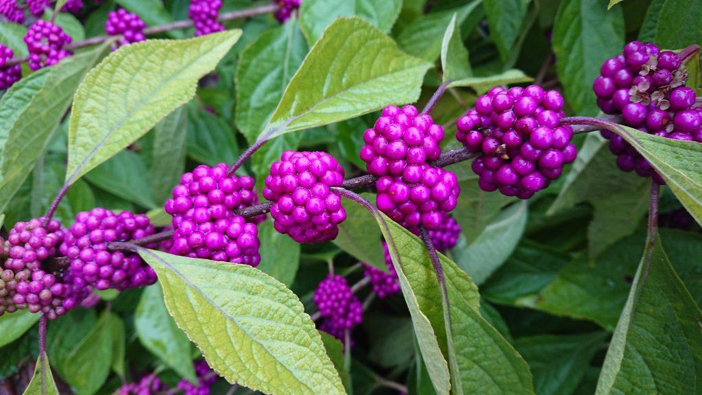native beautyberry berries