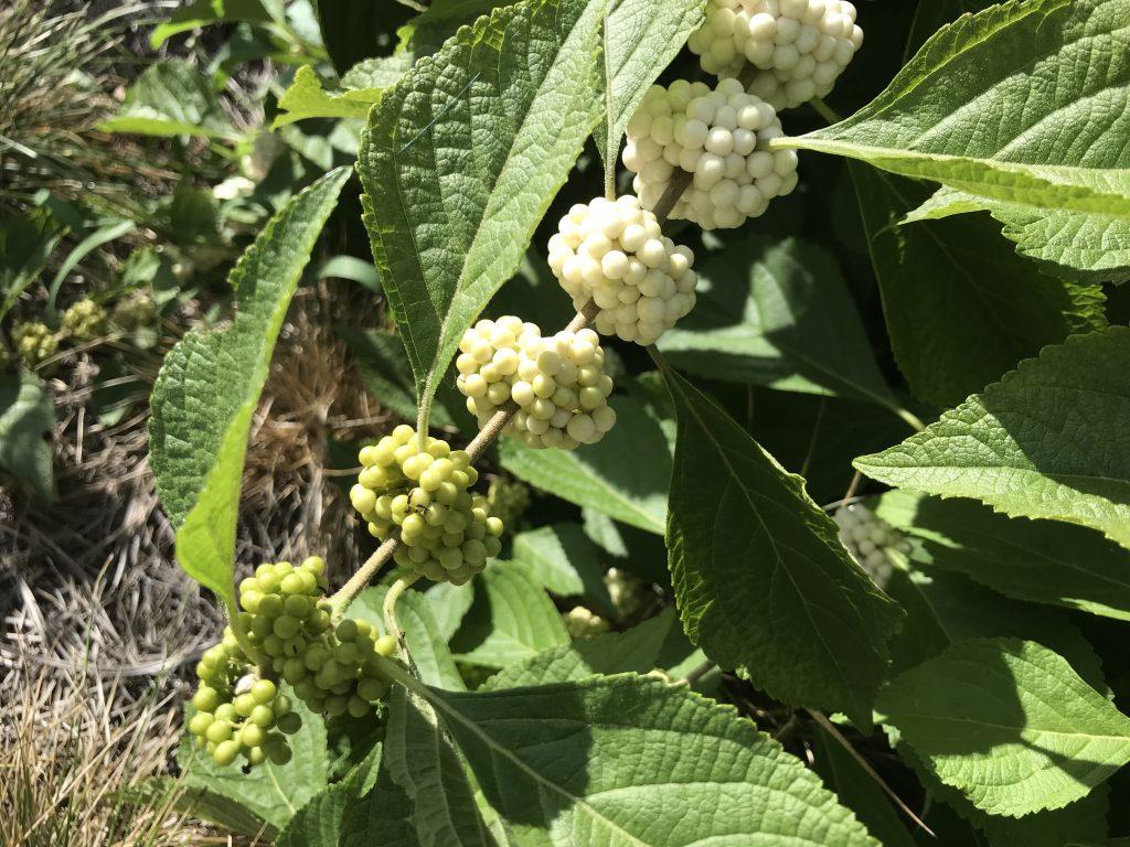 White Beautyberry aka Callicarpa americana var. lactea
