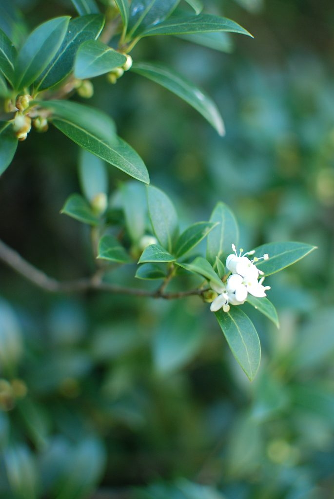 Tiny white Osmanthus fragrans flowers blooming