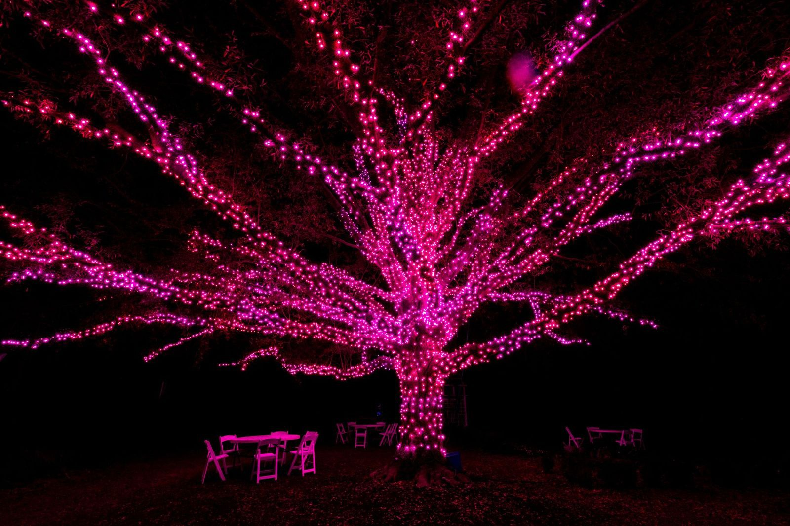 The Darlington Oak wrapped in pink lights.