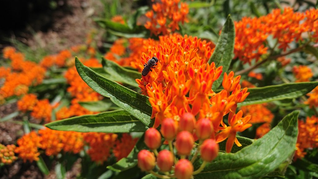Bright orange blooms of native asclepias tuberosa or butterfly weed.