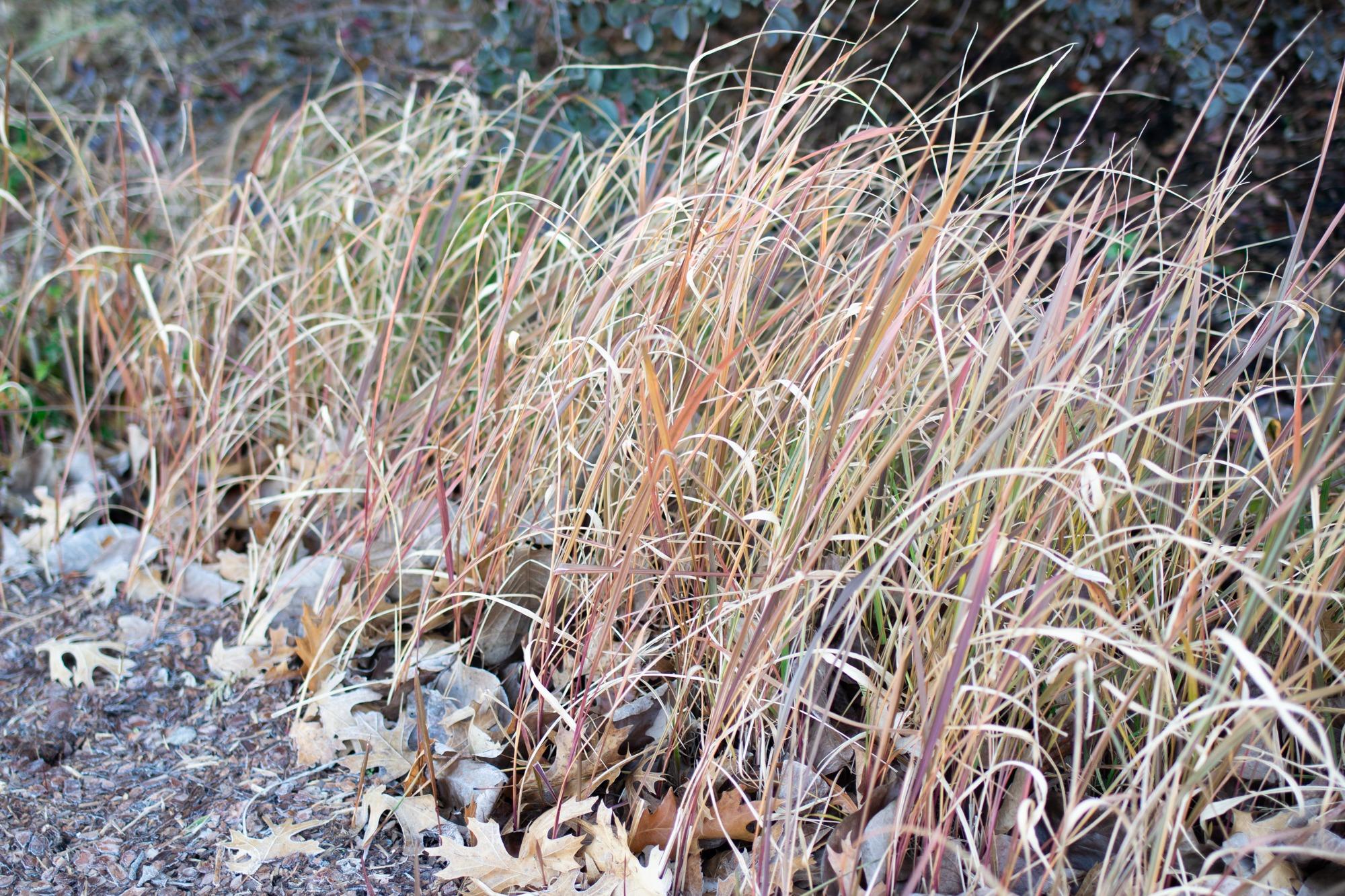 Japanese blood grass on Main Garden Walk