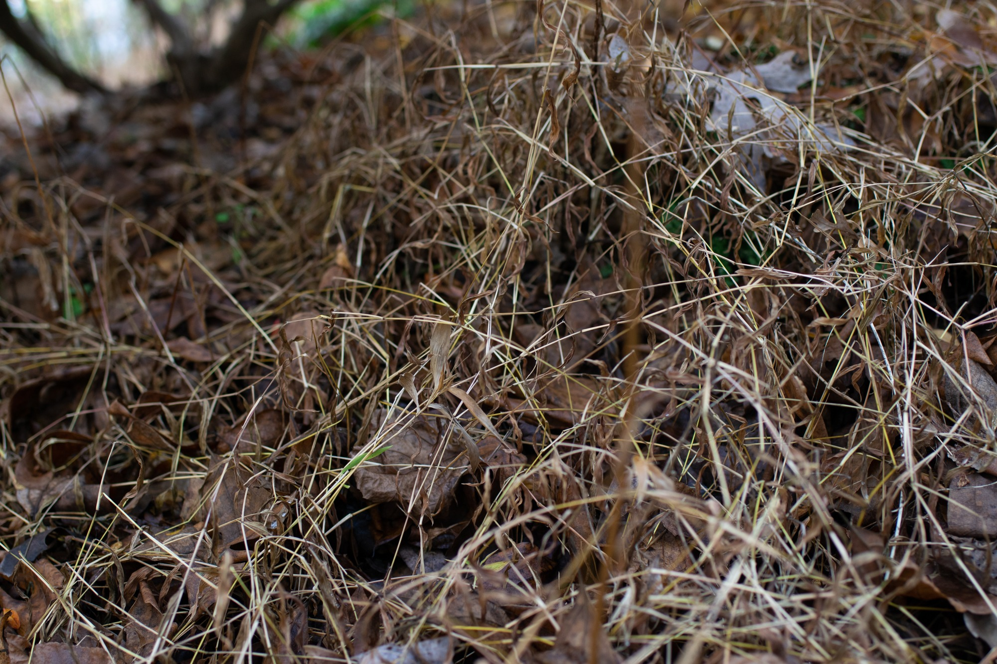 Patch of dead Japanese stiltgrass