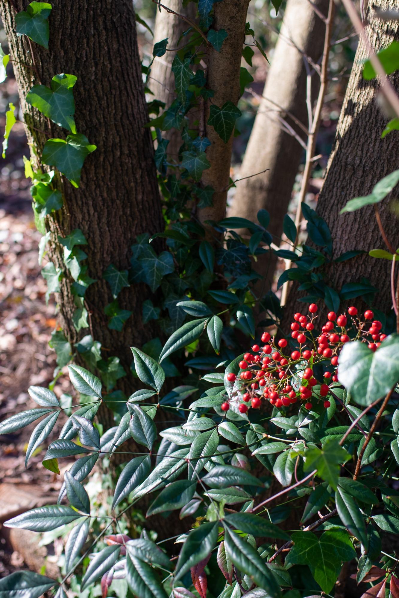 Nandina next to tree with English ivy