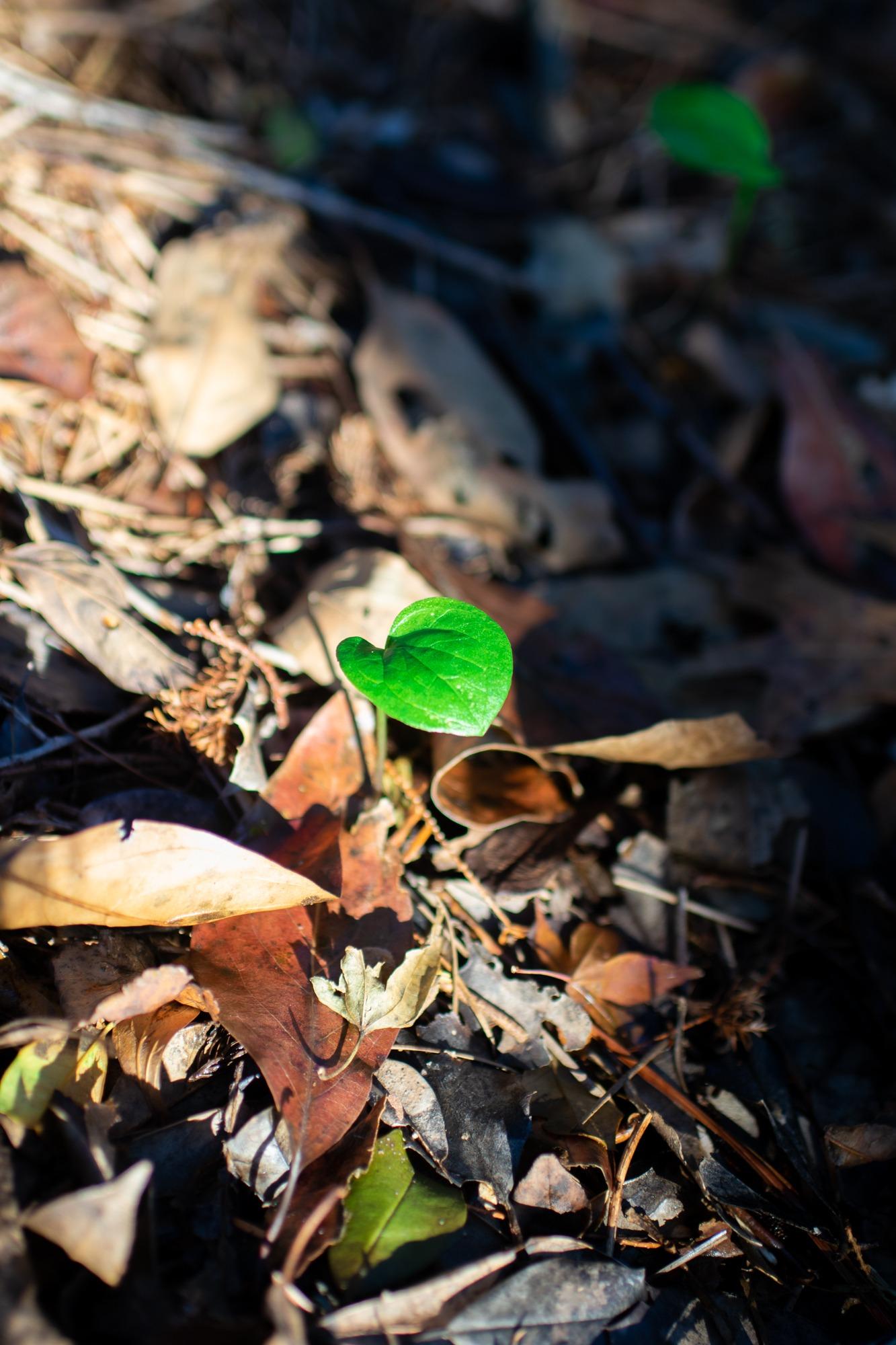 Italian arum seedling
