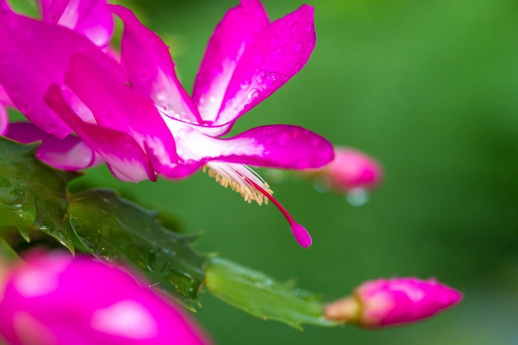 Thanksgiving cacti, Schlumbergera, is easy to mistake for a Christmas cactus.