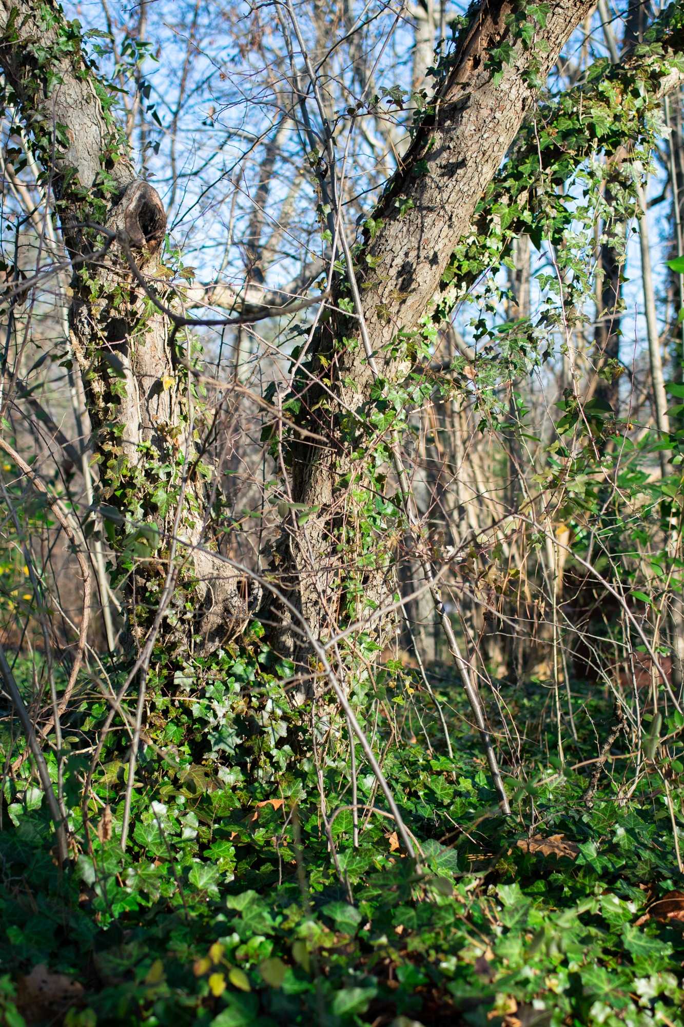 English ivy consuming a tree; porcelain berry vines dangling off tree.