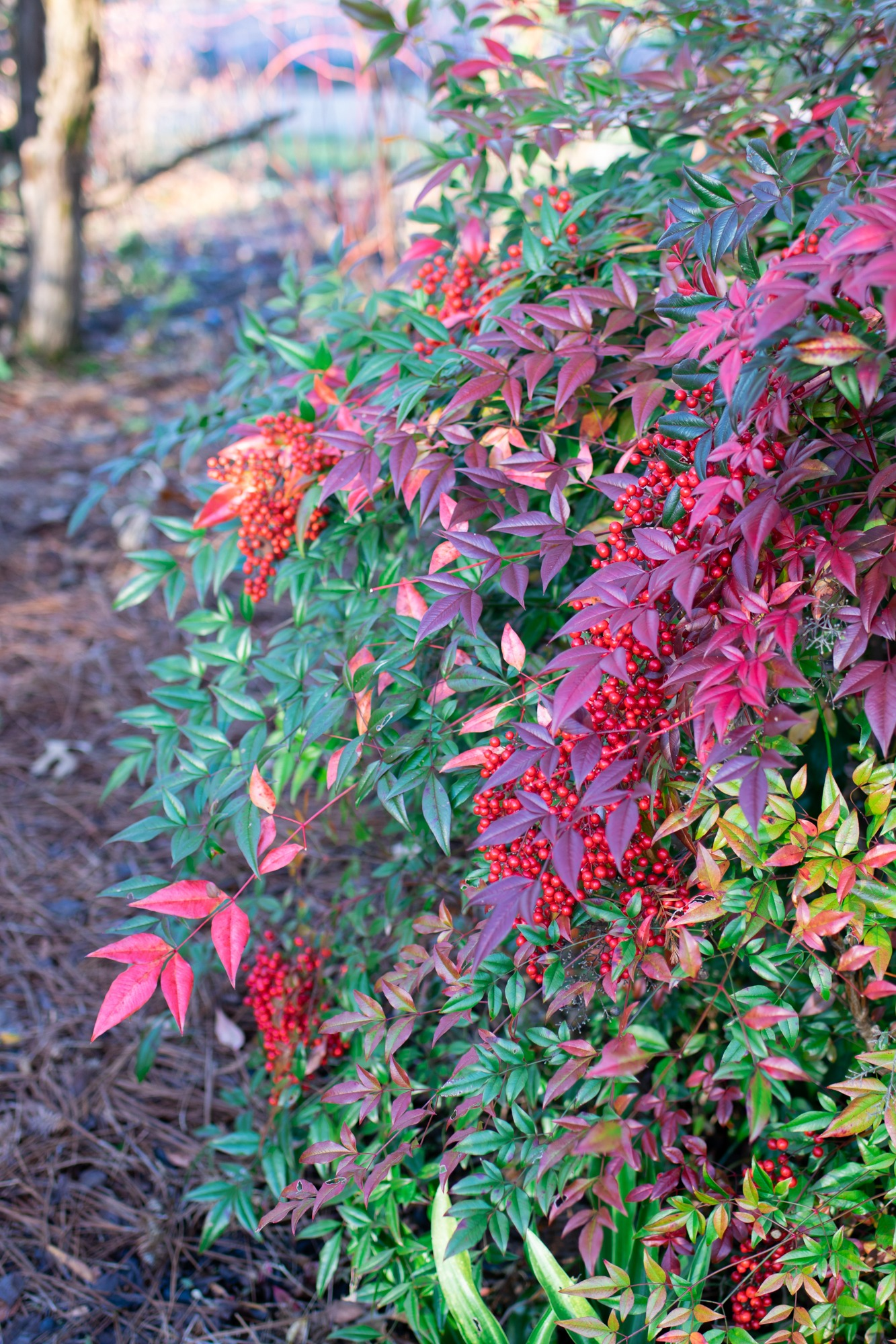 Nandina domestica 'plum passion'