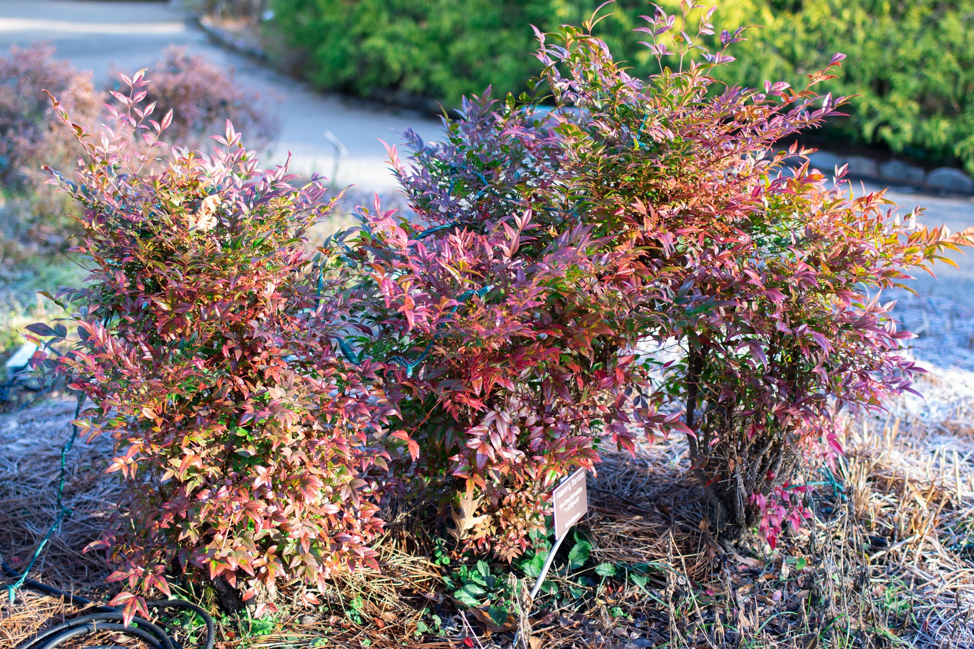 Nandina domestica in the fall