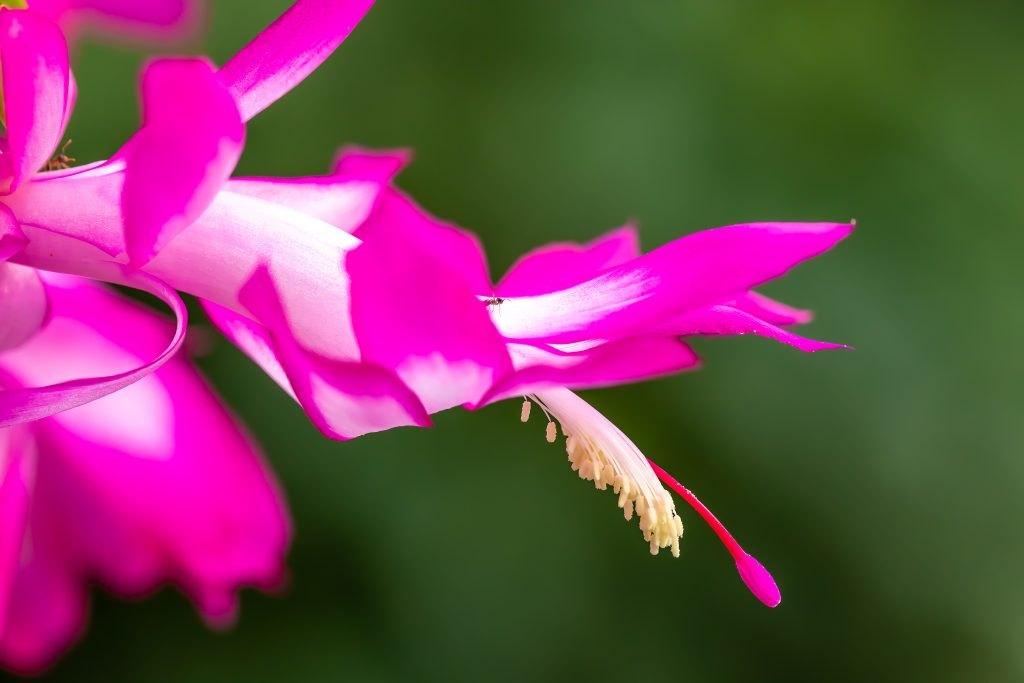 It's easy to confuse this pink Thanksgiving cactus for a Christmas cactus.