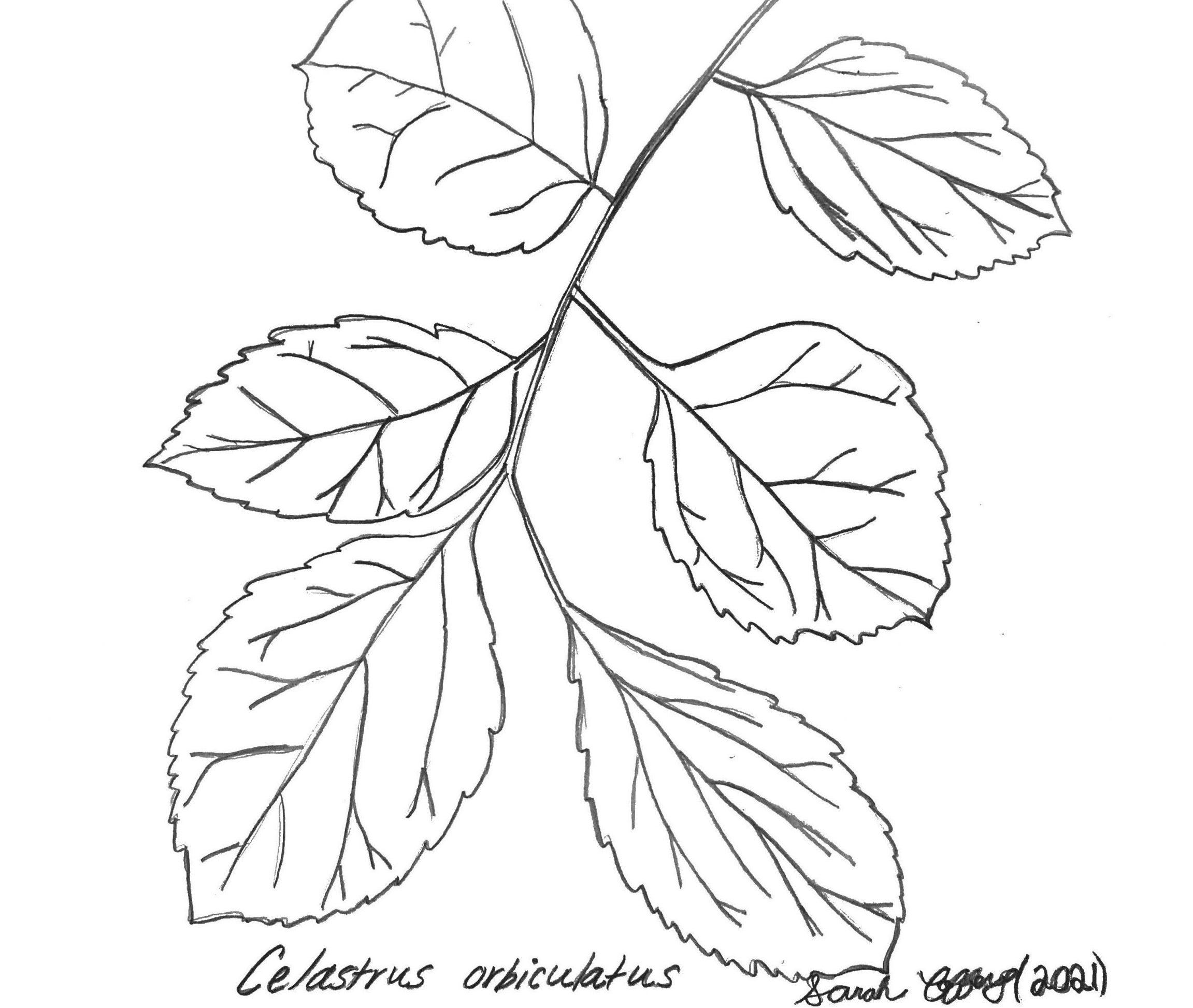 oriental bittersweet sketch