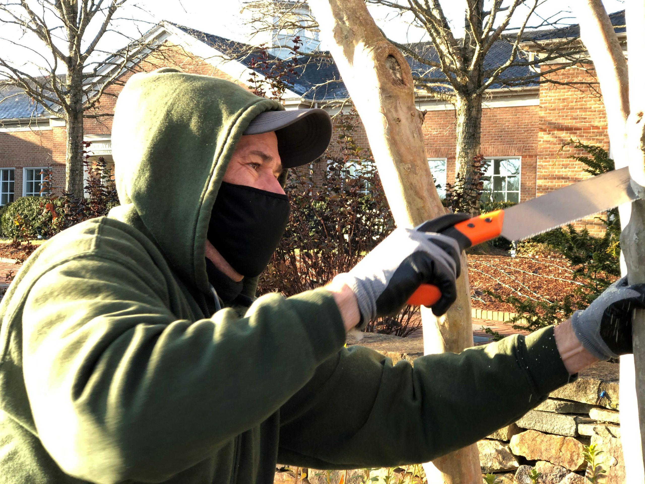 Pruning crape myrtles at Lewis Ginter Botanical Garden