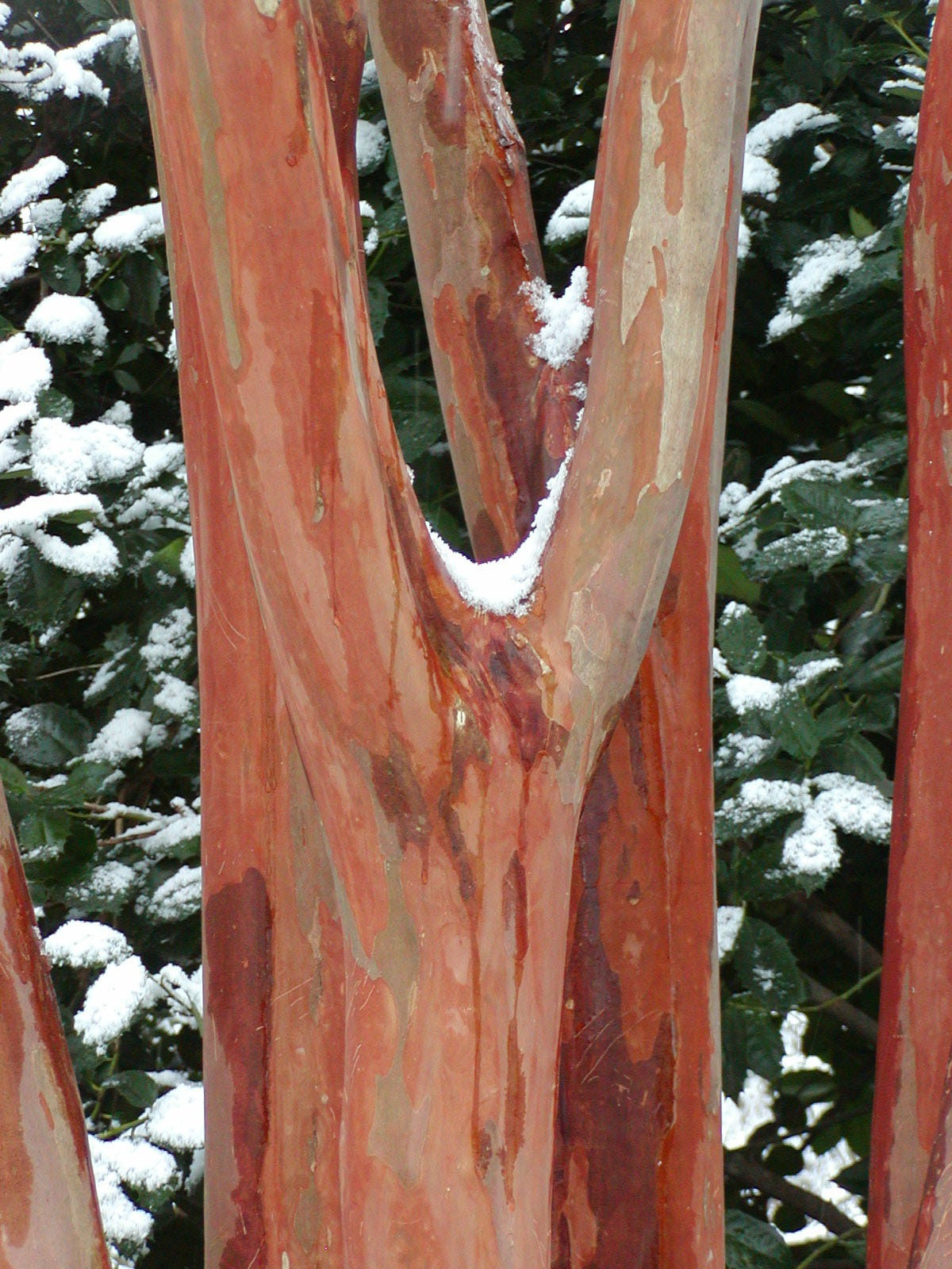 The beautiful bark of crape myrtles stands out in winter