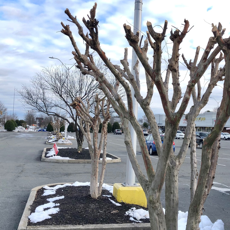 Severely pruned crape myrtles in parking lot