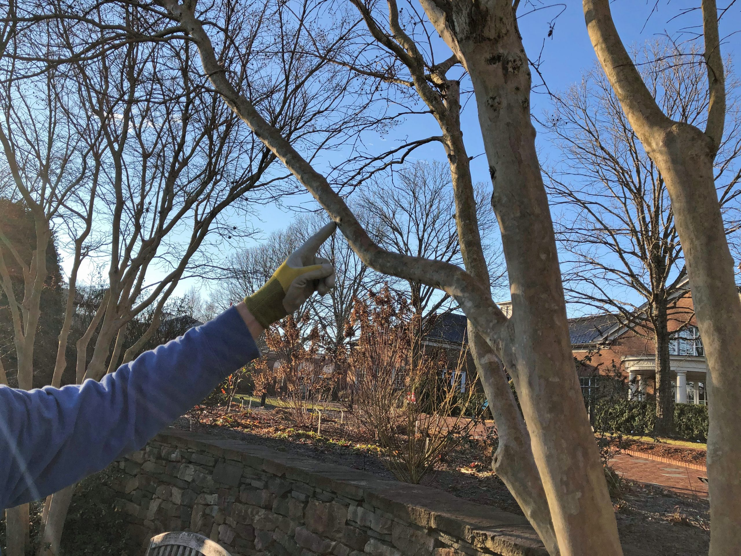 Showing where to make the first cut when pruning crape myrtles