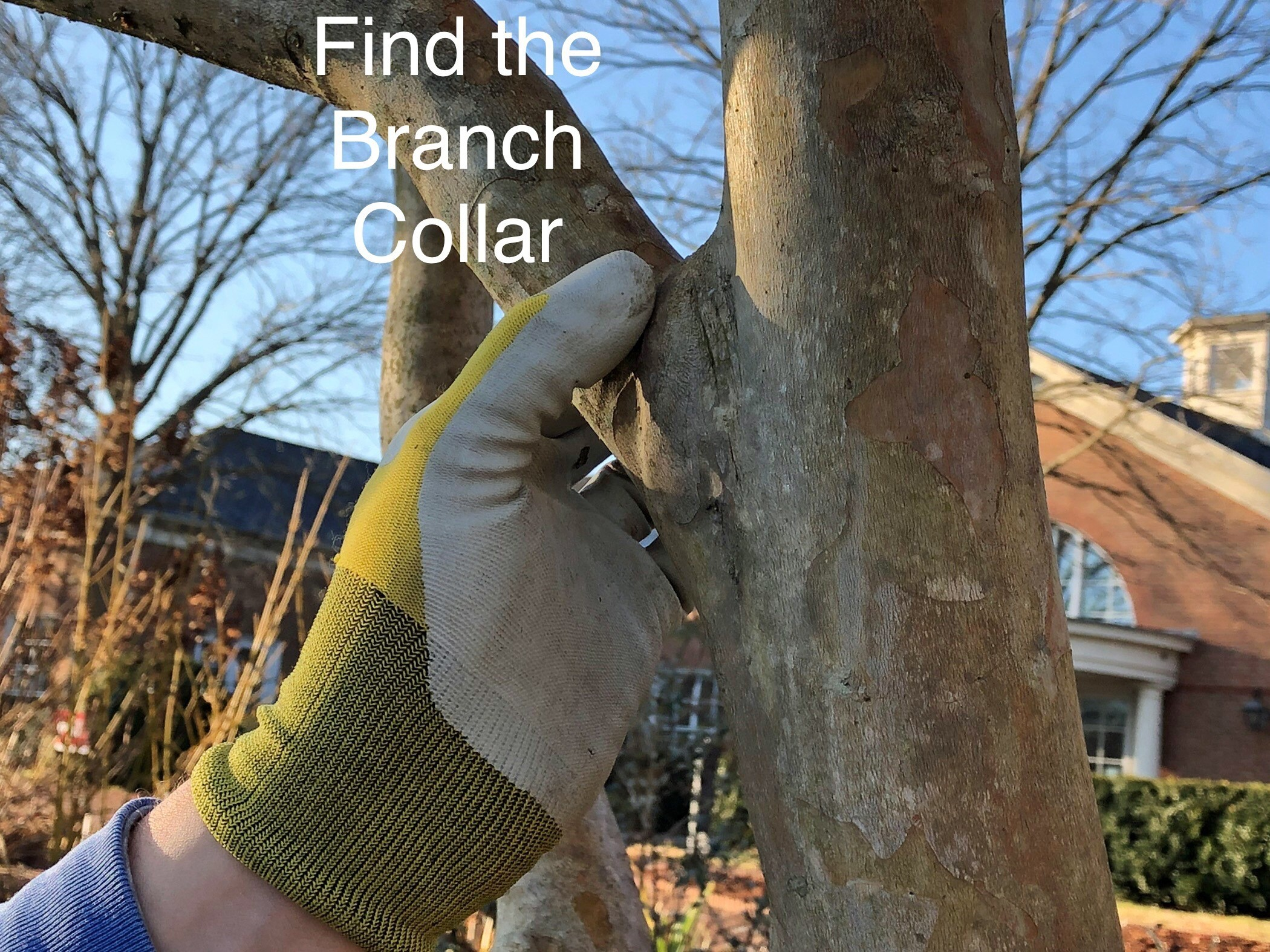 Showing how to find the branch collar