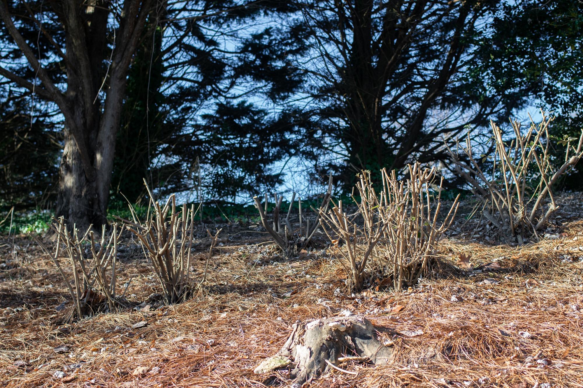 thorny olive stumps